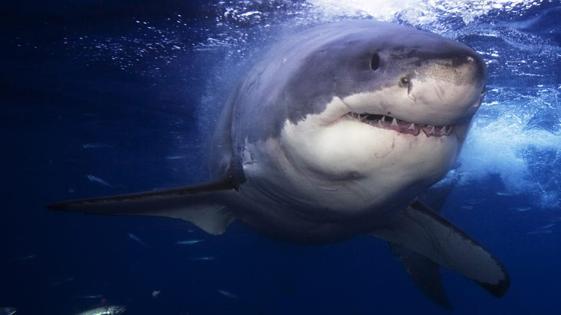 Great White Sharks May Have Led to Megalodons' Extinction