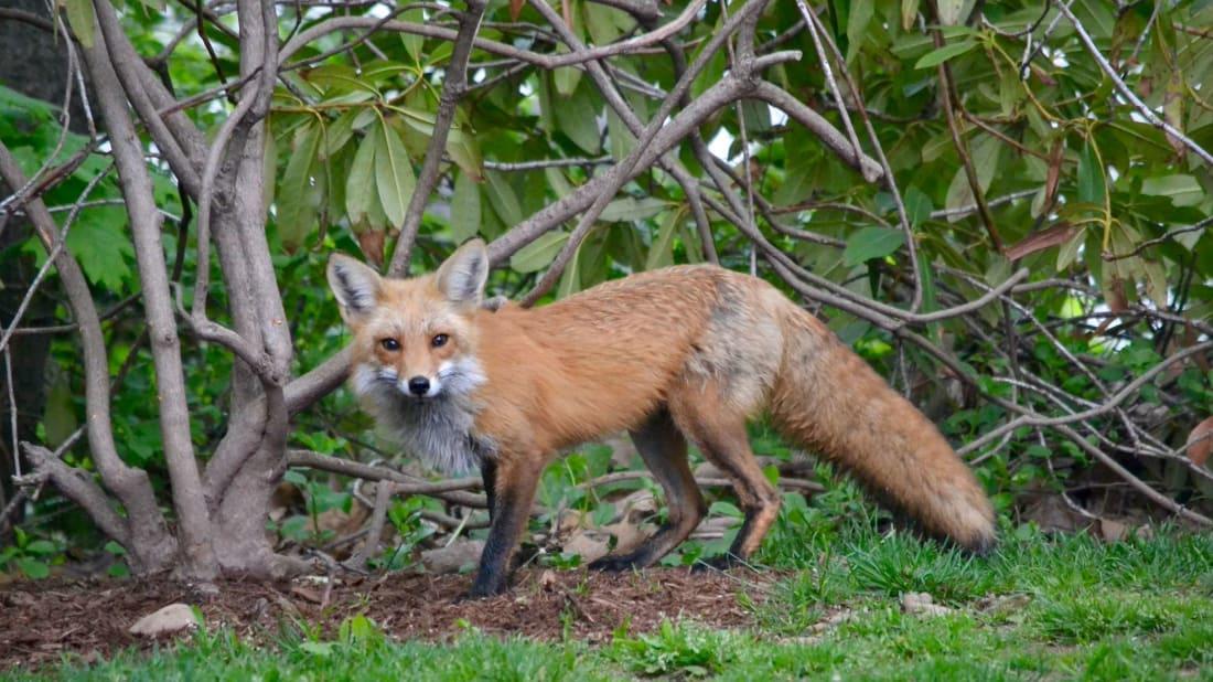 Fiona the fox, exploring her territory.