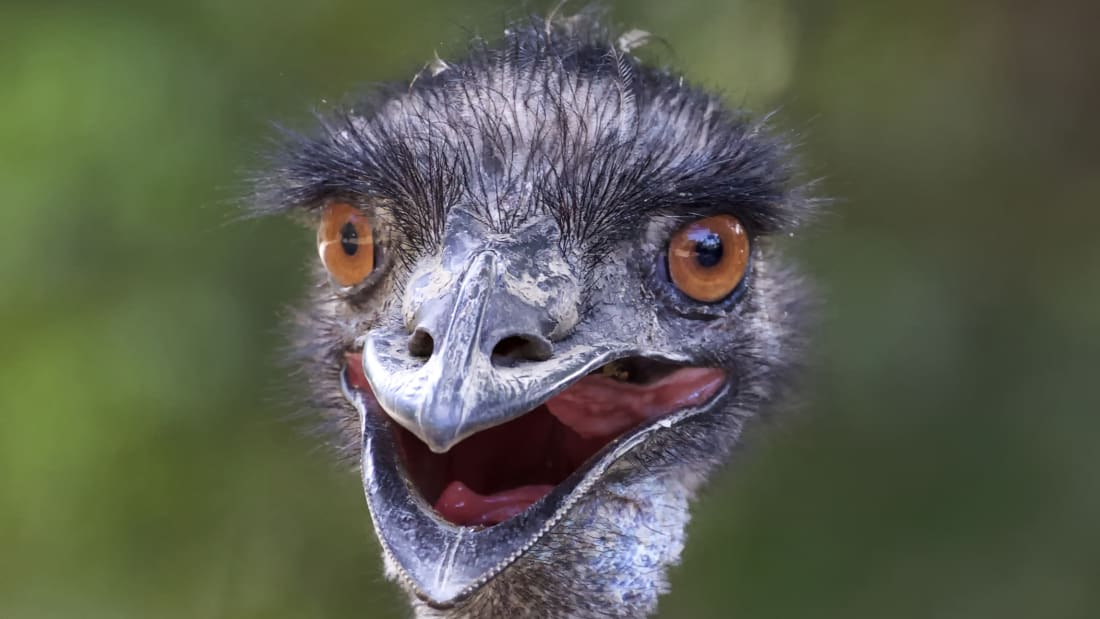 An emu smiles for the camera.