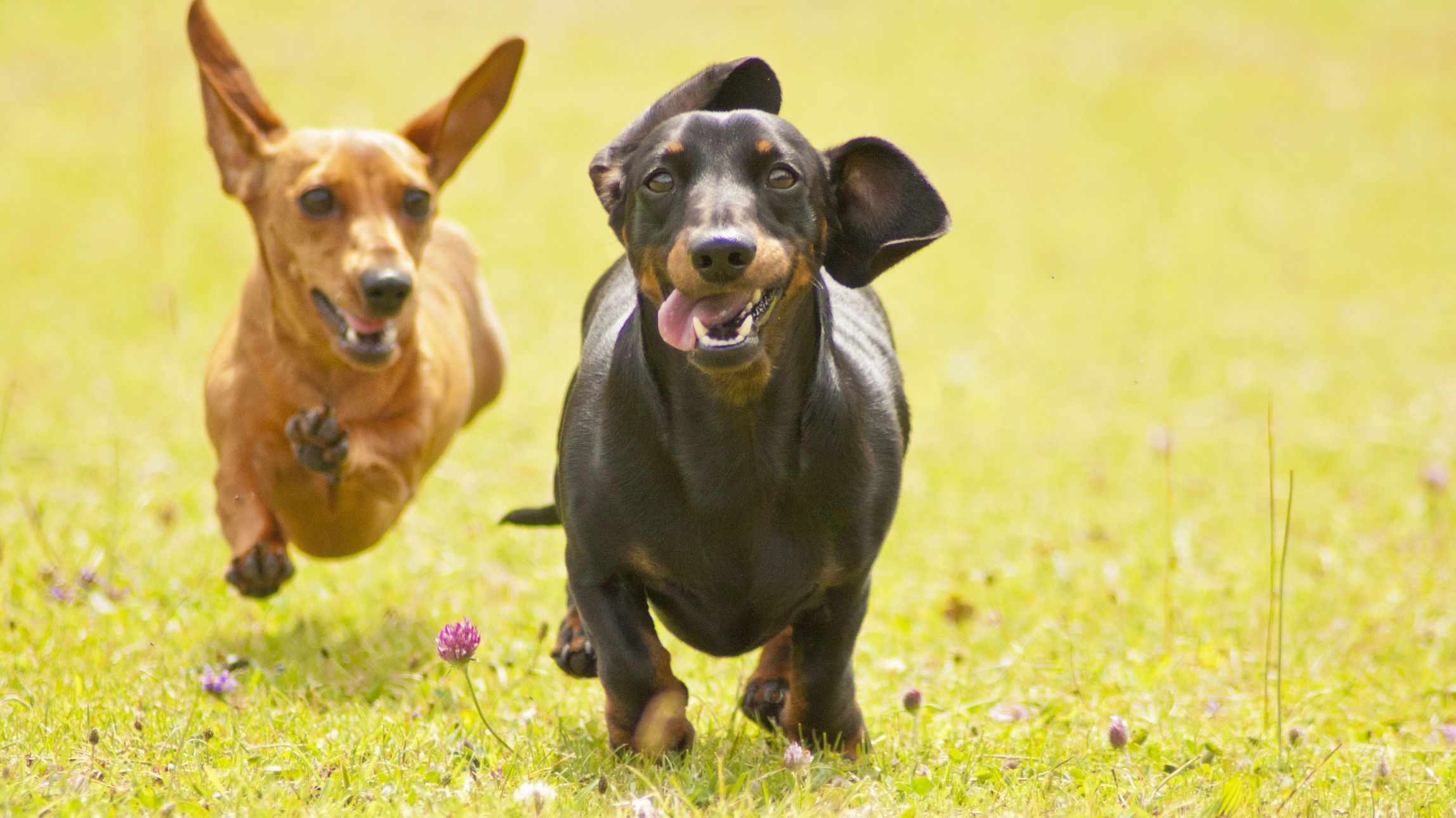 100 Dachshunds Competed in Cincinnati's Annual 'Running of the Wieners'