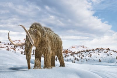 An illustration of a woolly mammoth, blissfully unaware of its species impending doom.