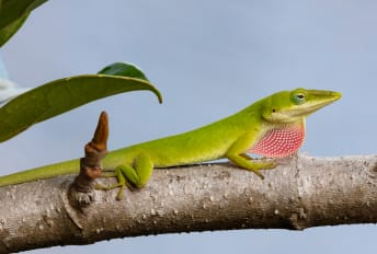 When competition moved in, Florida's native green lizards evolved to become stickier.