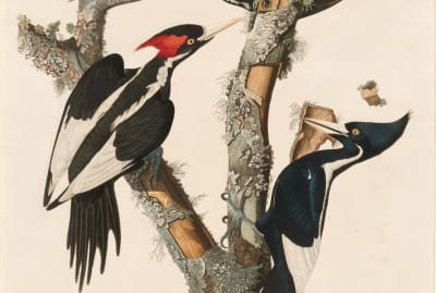 The ivory-billed woodpecker is no more.