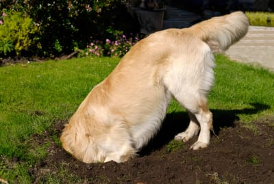 Dogs like to dig.