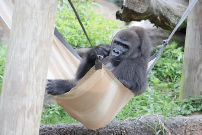 The Audubon Zoo is accepting donations for Tumani's first baby.