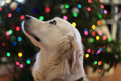 Some holiday decorations can be a problem for pets.