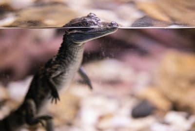 Young alligators can regenerate their tails.