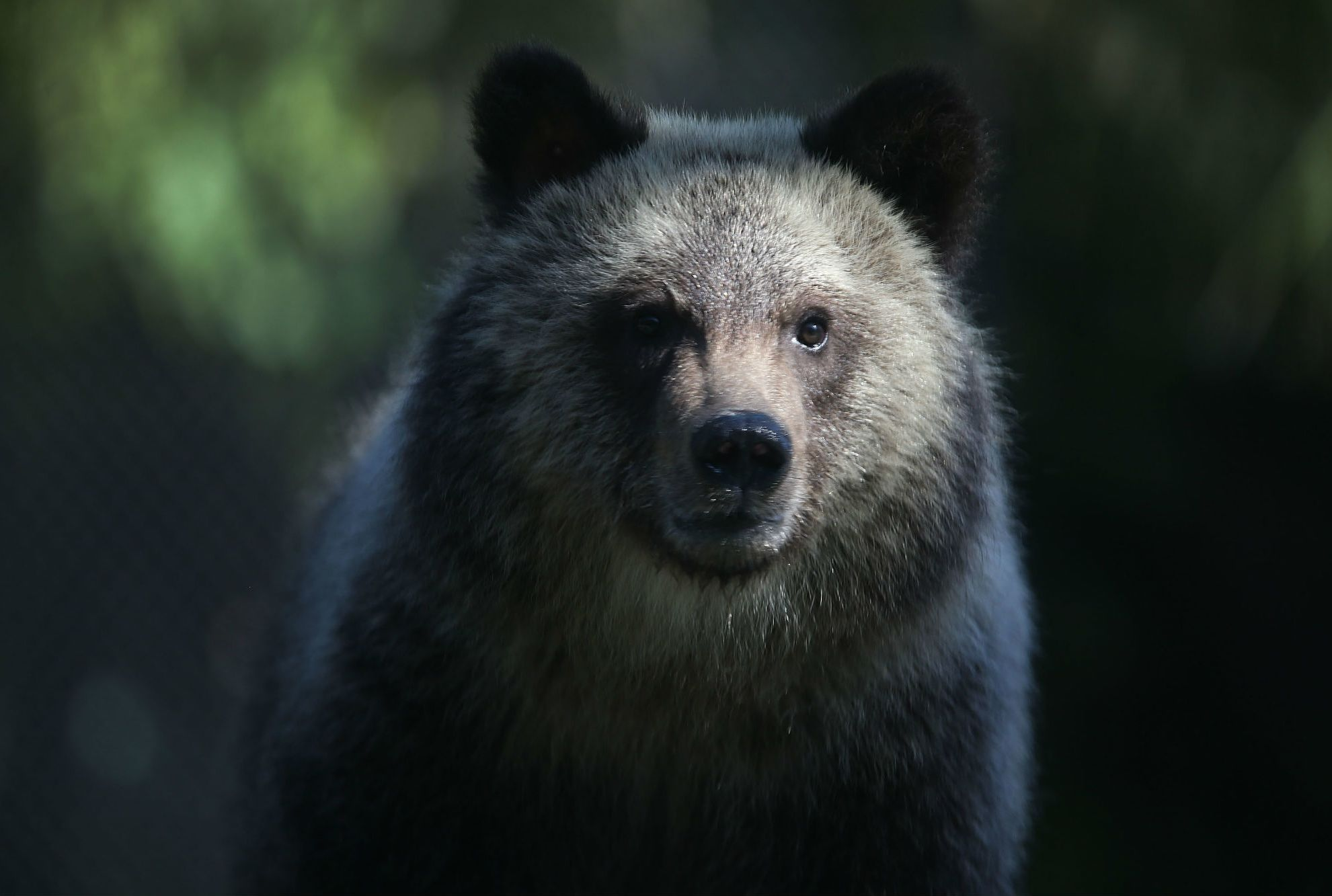 10 Things You Might Not Know About Grizzly Bears | Mental Floss