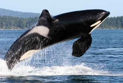 Killer whales might be lashing out in response to decades of disruption by humans.