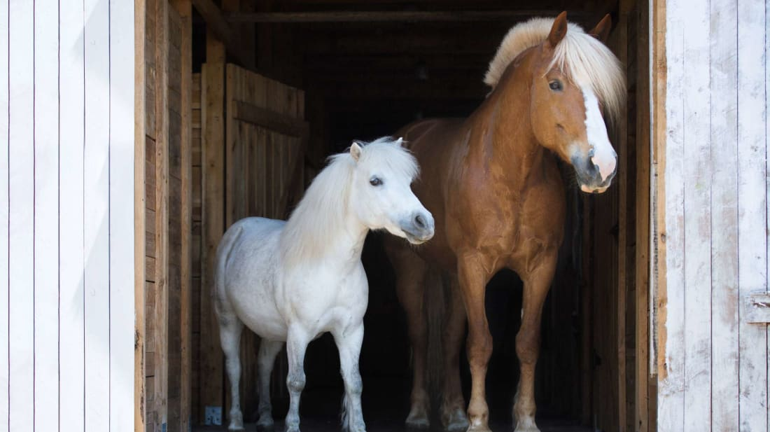 Height isn't the only difference between horses and ponies.