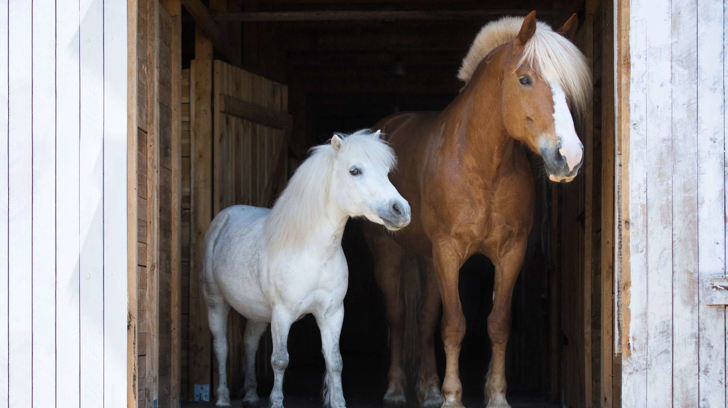 What is the Distinction Between Horses and Ponies?