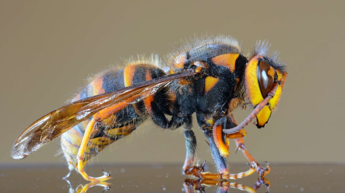 Bees are dying at an alarming rate, and murder hornets could make it even worse.