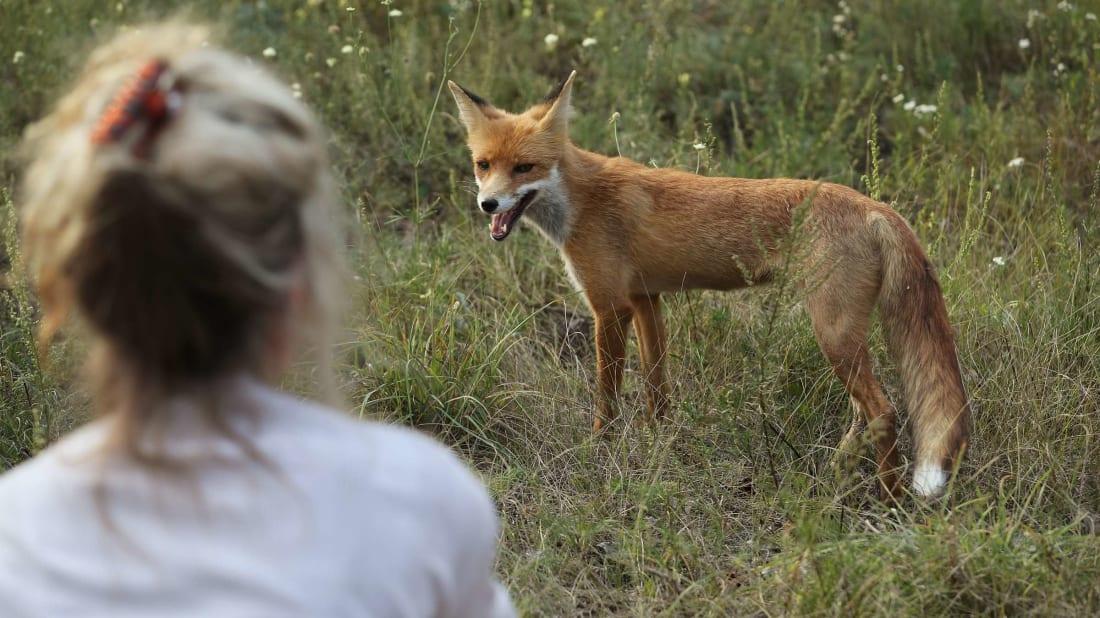 A fox near the Chernobyl power plant in 2017.
