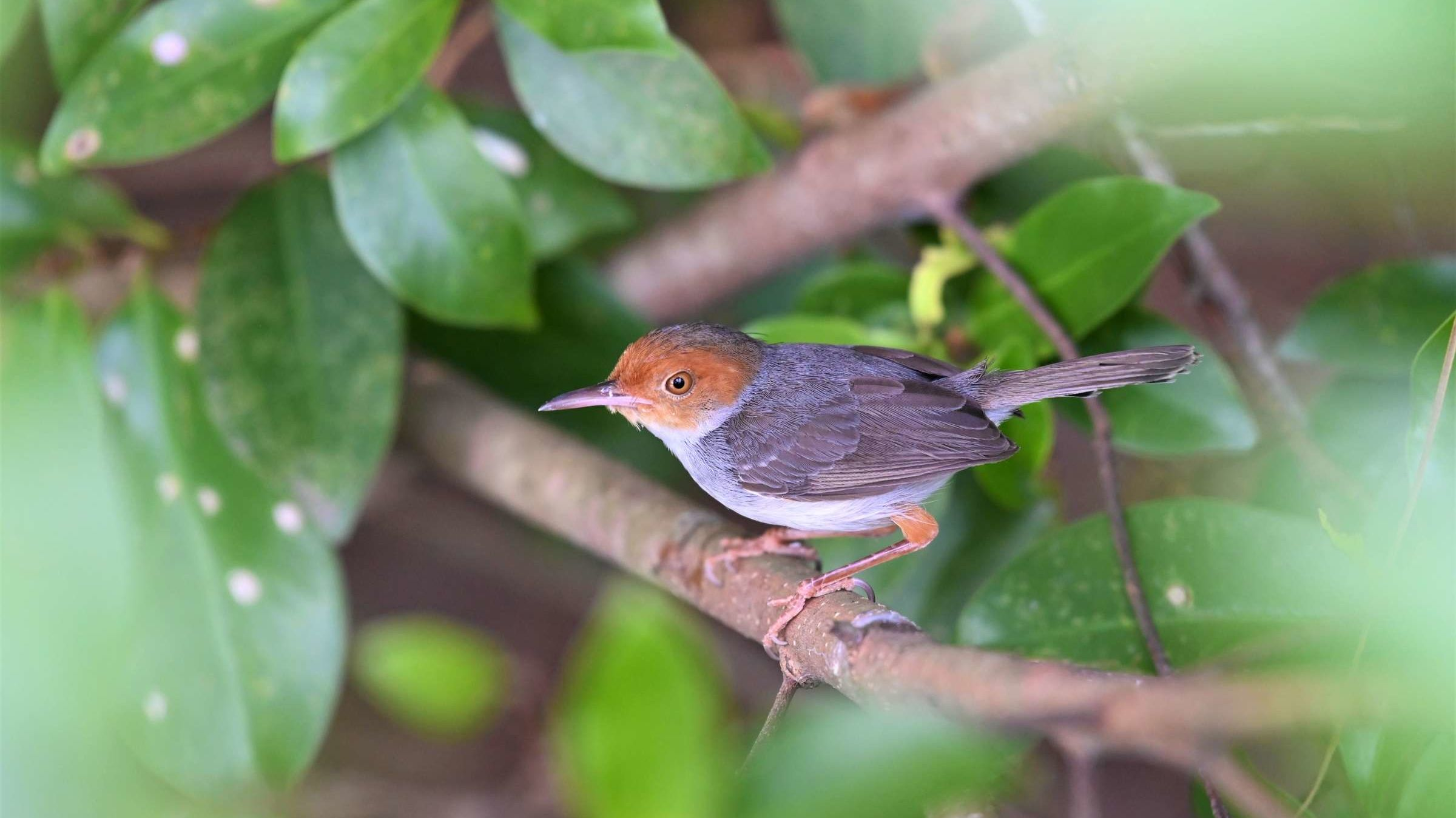 Watch as the Amazing Tailorbird 'Sews' Its Nest Together