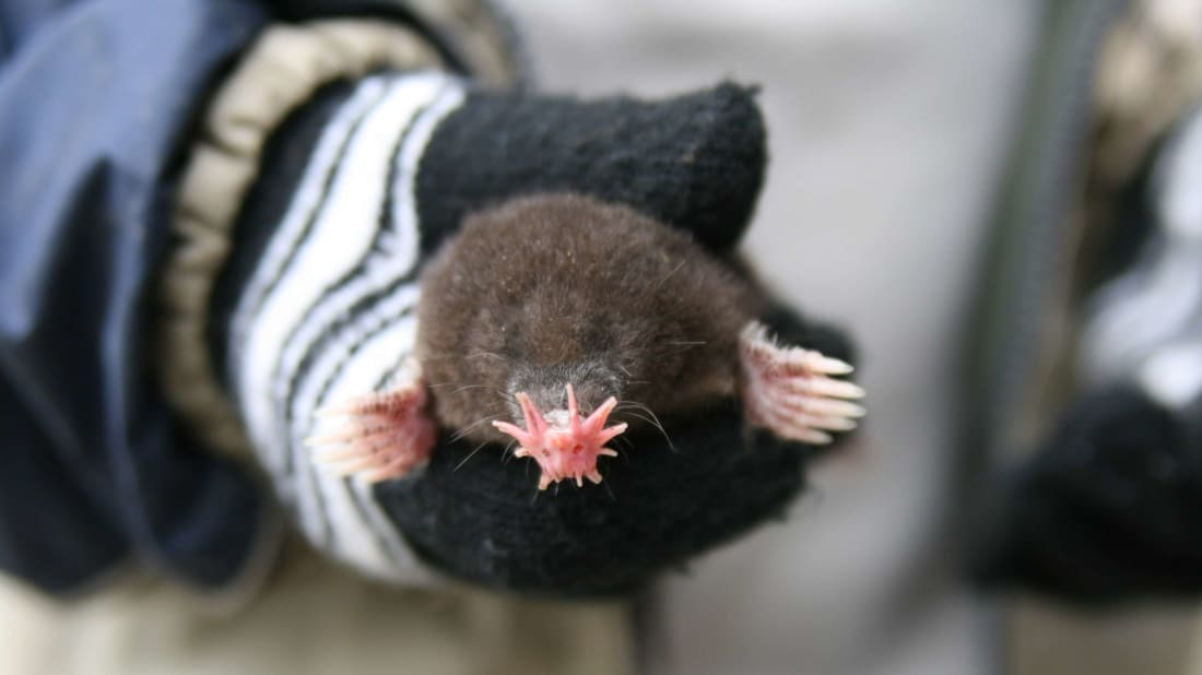 Would you let this star-nosed mole touch you with its schnoz?