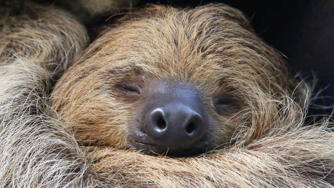 Sleeping two-toed sloth.