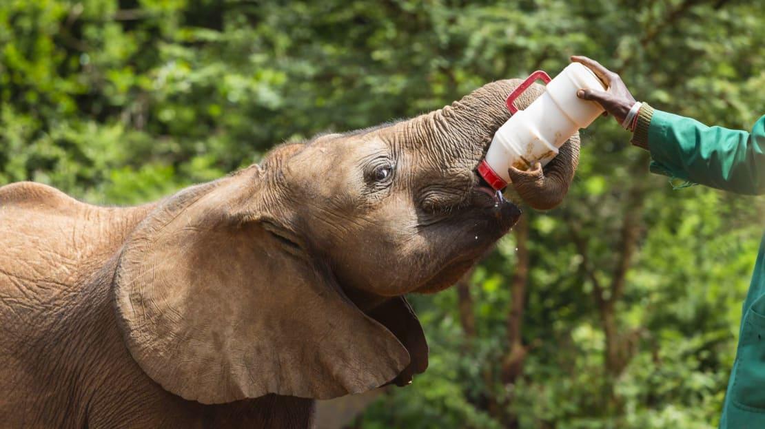 Baby elephant being bottle-fed in David Sheldrick Wildlife Trust in Kenya.