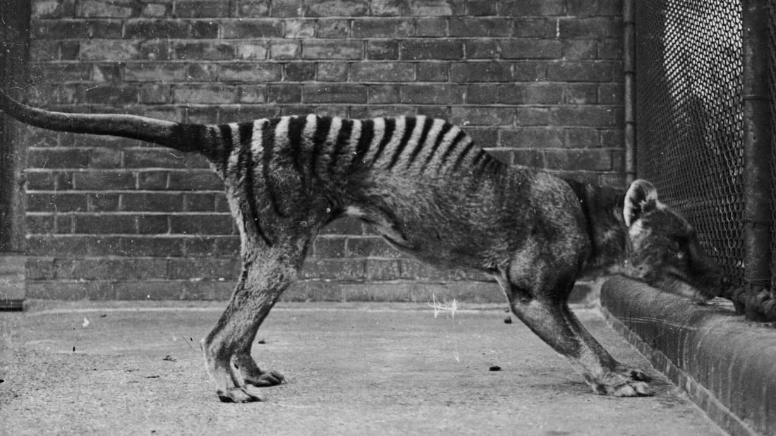 A Tasmanian tiger, or thylacine, in captivity circa 1930.