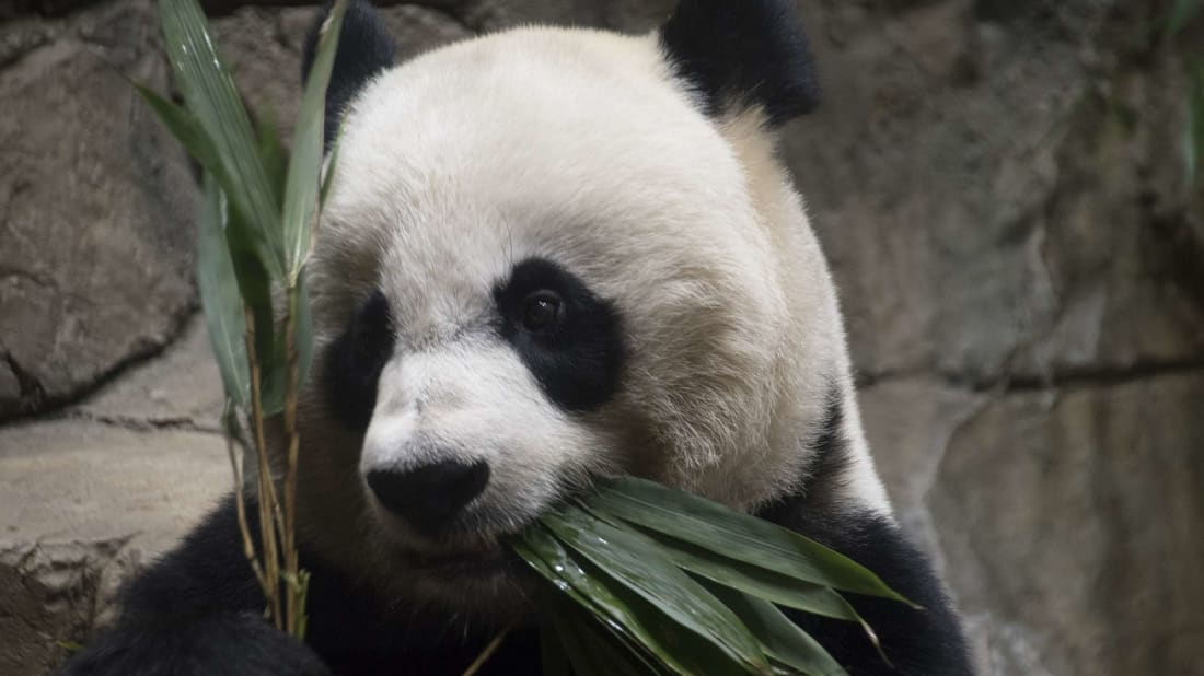 Thanks to webcams, you can keep a close eye on animals like Mei Xiang.