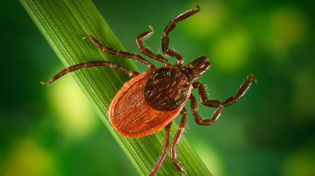 Watch out for black-legged ticks, which can spread the bacteria that causes Lyme disease.