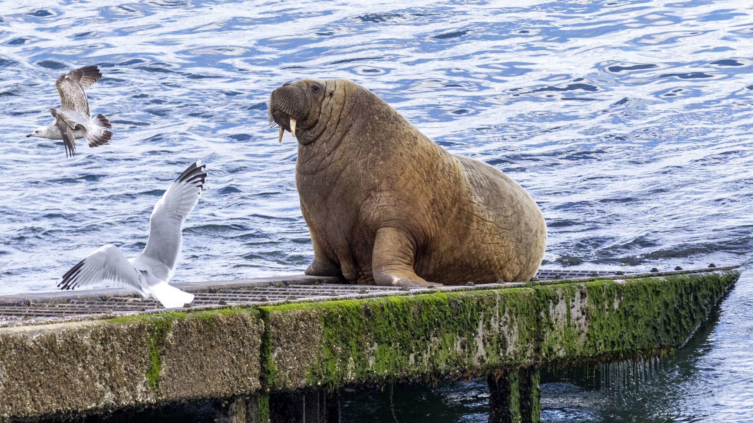 Wally, the Wandering Walrus Last Seen in Ireland, Was Just Spotted in Iceland