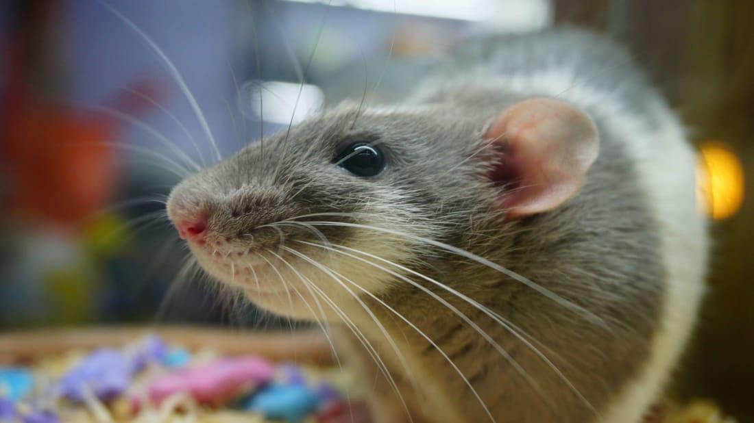 Rats find driving relaxing, say scientists
