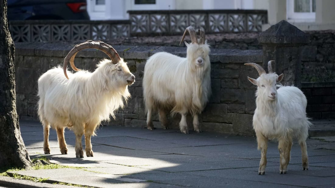 """We gon' run this town tonight!"" —These goats, probably."