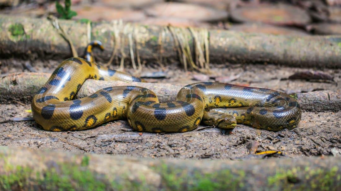 A green anaconda, the queen of snakes