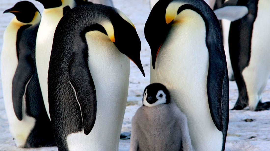 Emperor penguin parents are very devoted to their chicks.
