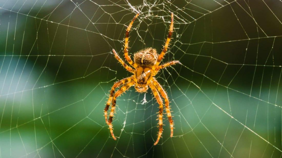 Orb-weaver spider on web.