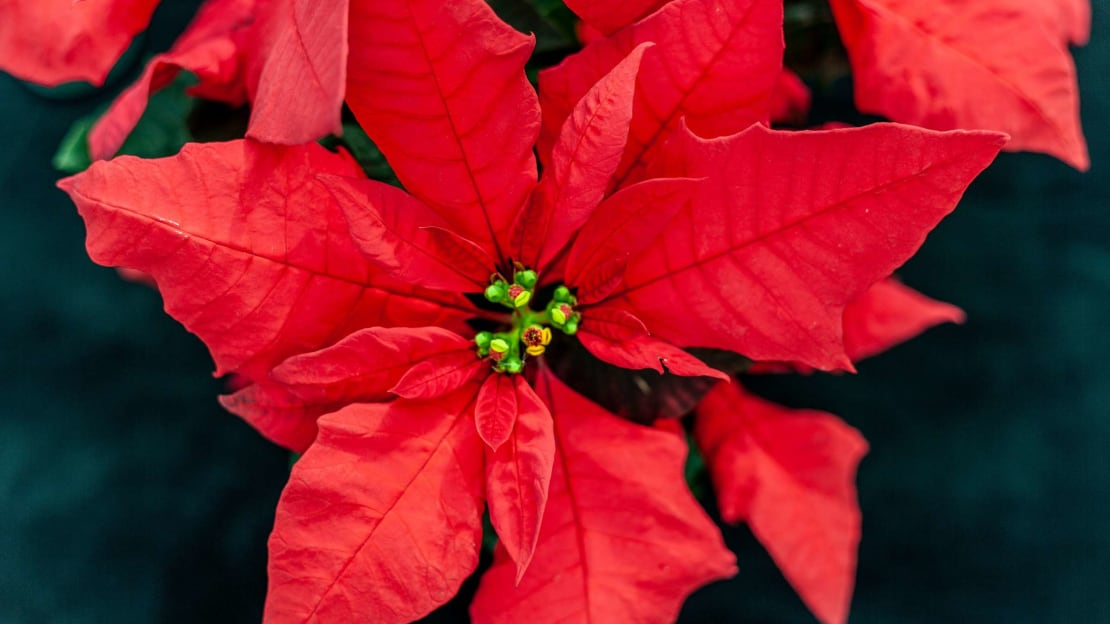 Where did the word pointsettia come from, anyway?