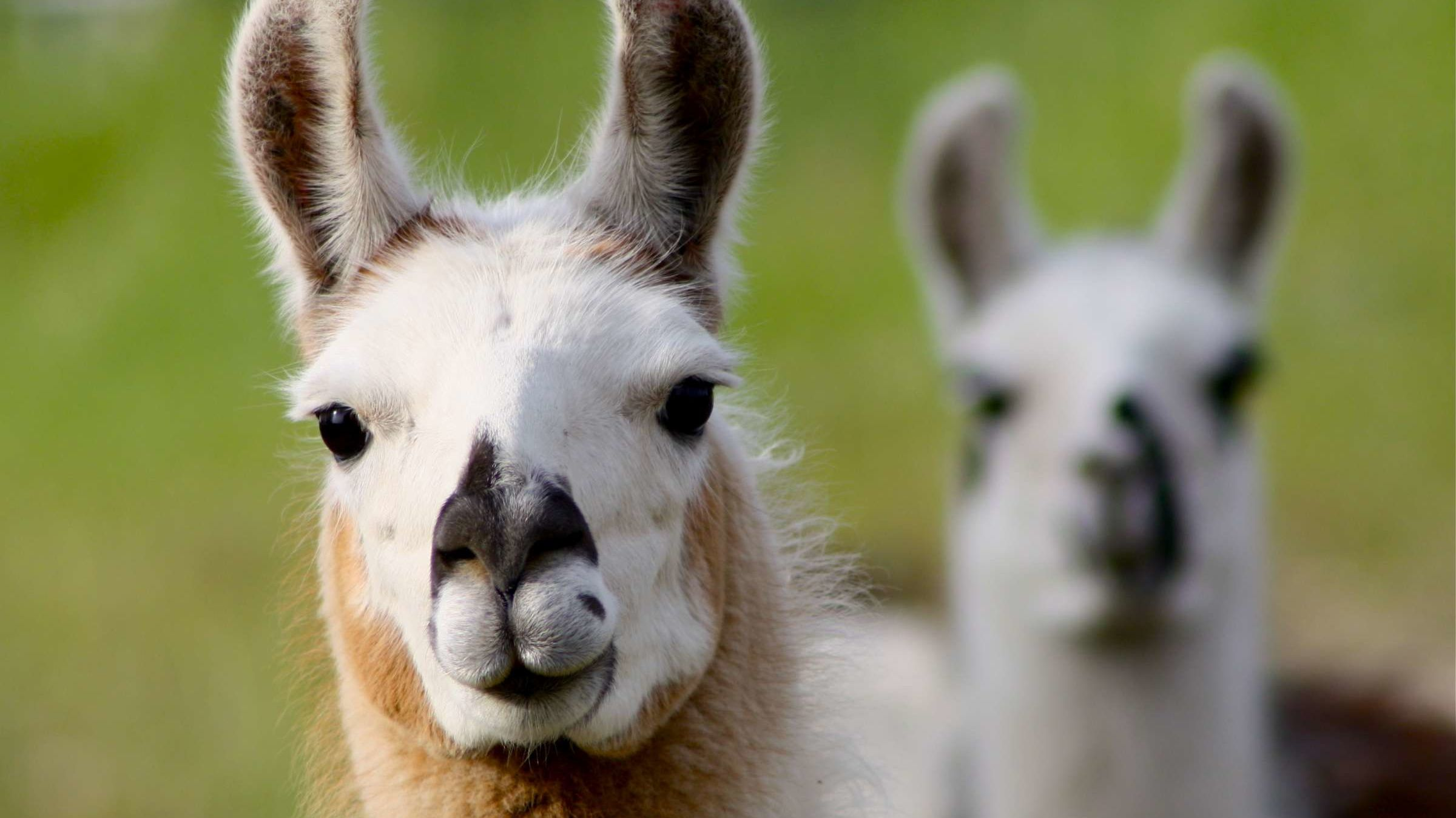 Move Over Dogs, Goats, and Peacocks: Llamas Are the Hot New Therapy Animal