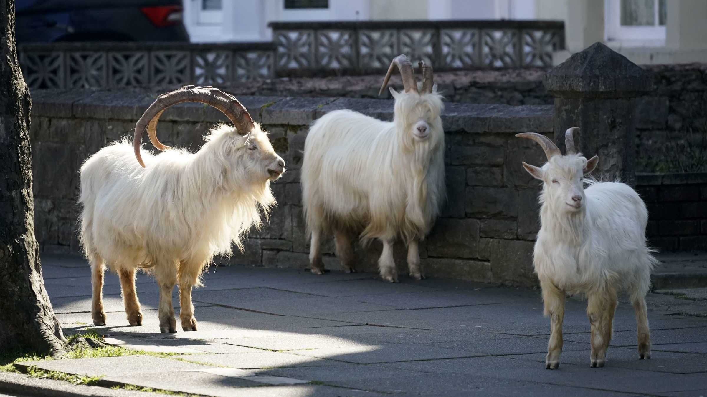 Goat Your Own Way: In North Wales, a Herd of Goats Is Taking Advantage of the Empty Streets