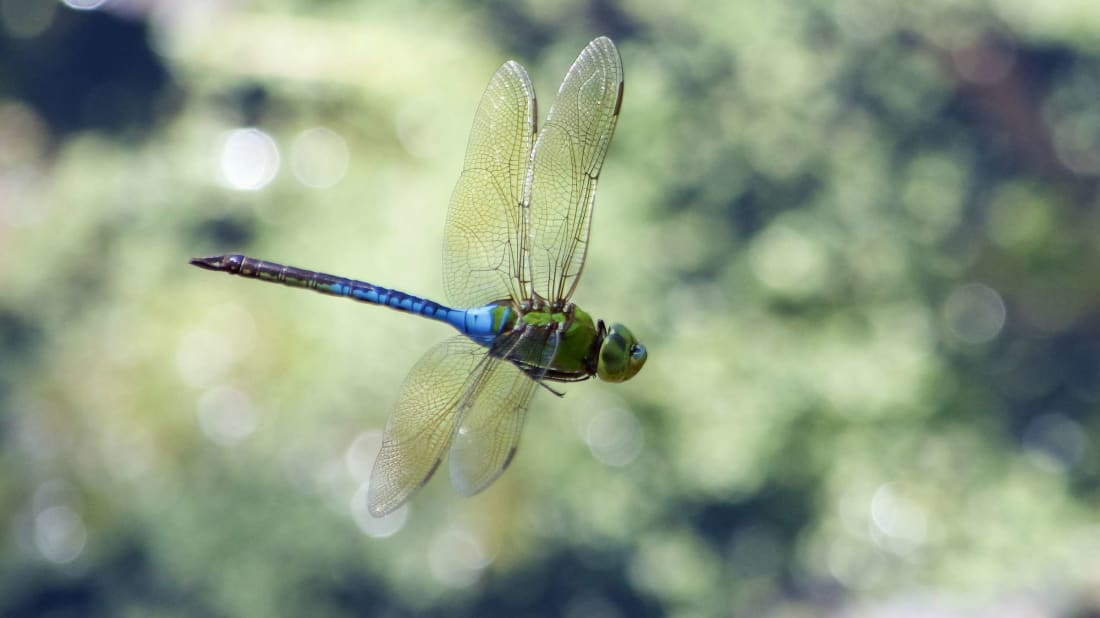 Massive Swarms of Migrating Dragonflies Are So Large They're Popping Up on Weather Radar