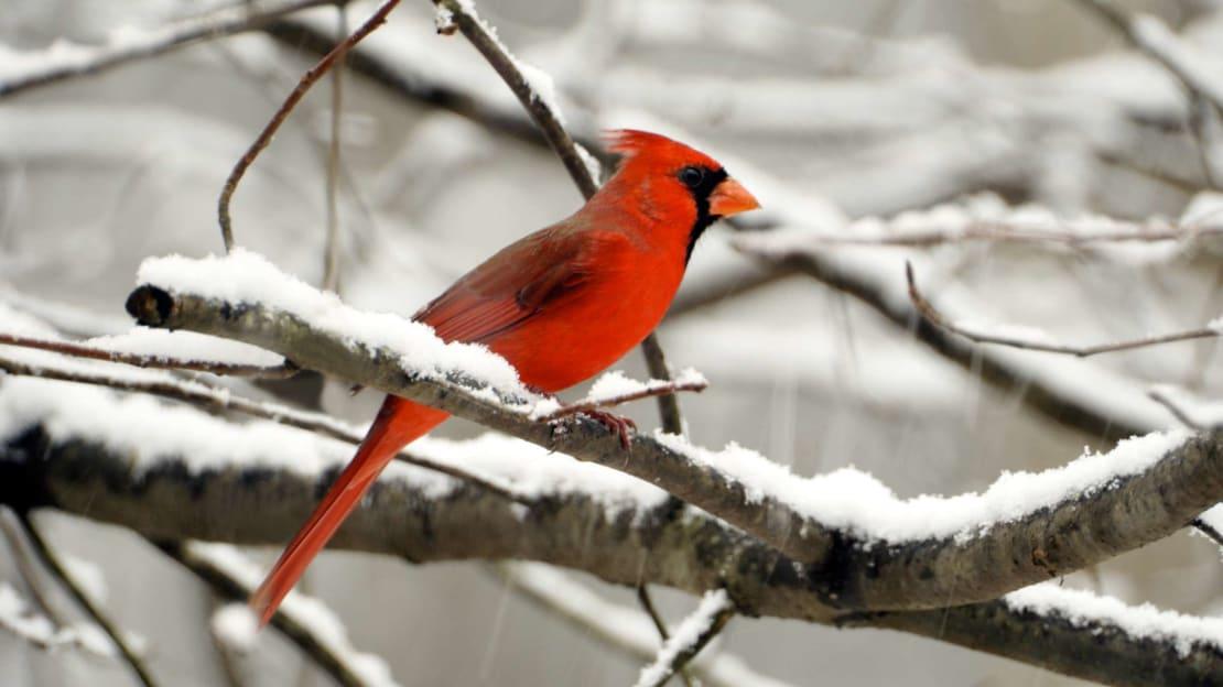 A not-so-rare male cardinal.
