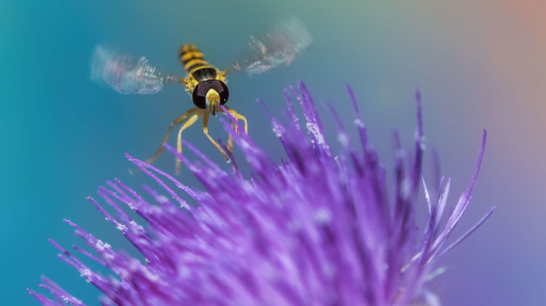 A hover fly living up to its name on a thistle.