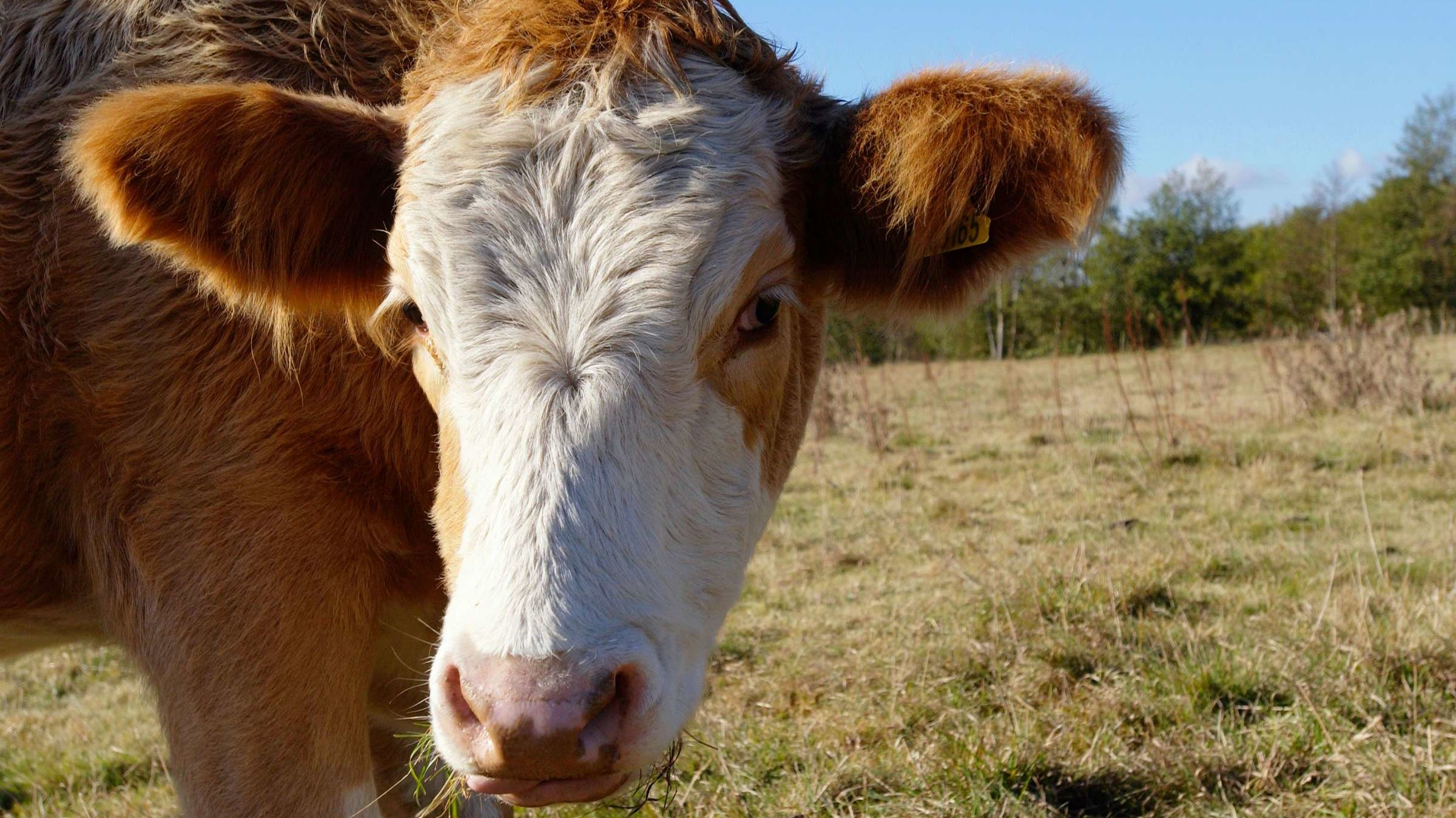 Mooove Over, Florida Man: A Florida Cow on the Loose Is Wanted By Police
