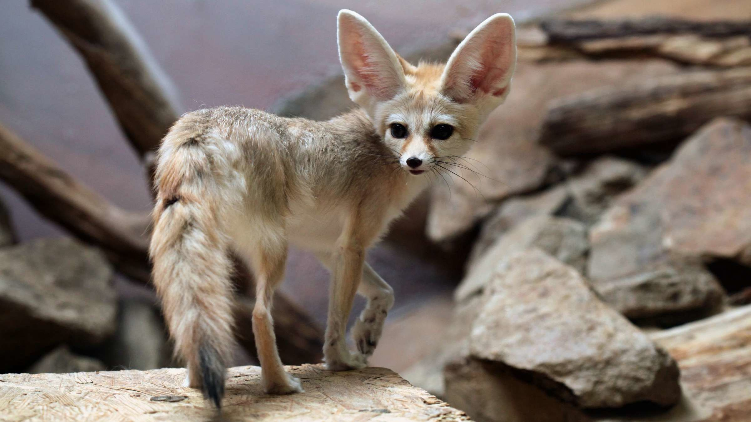 Watch Fennec Foxes Exploring an Empty Chattanooga Zoo