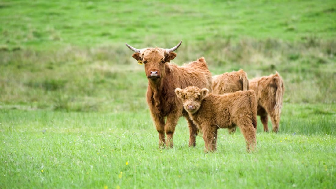 A pair of Highland cows.