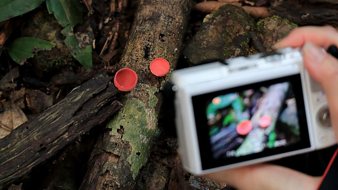 A citizen scientist takes a photo of scarlet mushrooms.