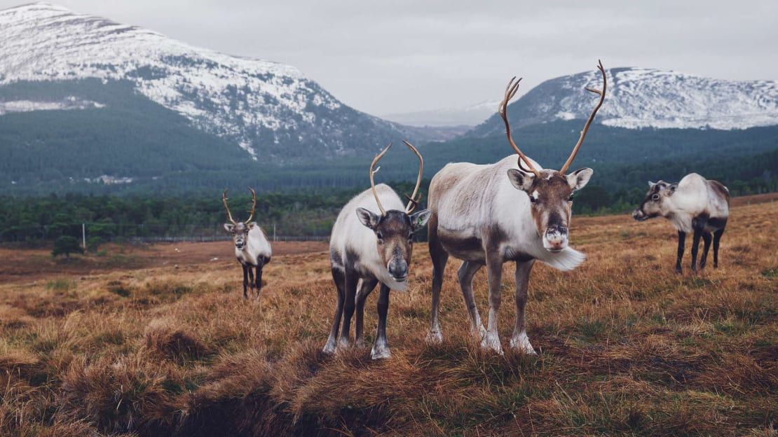 Britain's only herd of free-ranging reindeer live in Scotland's Cairngorms National Park.
