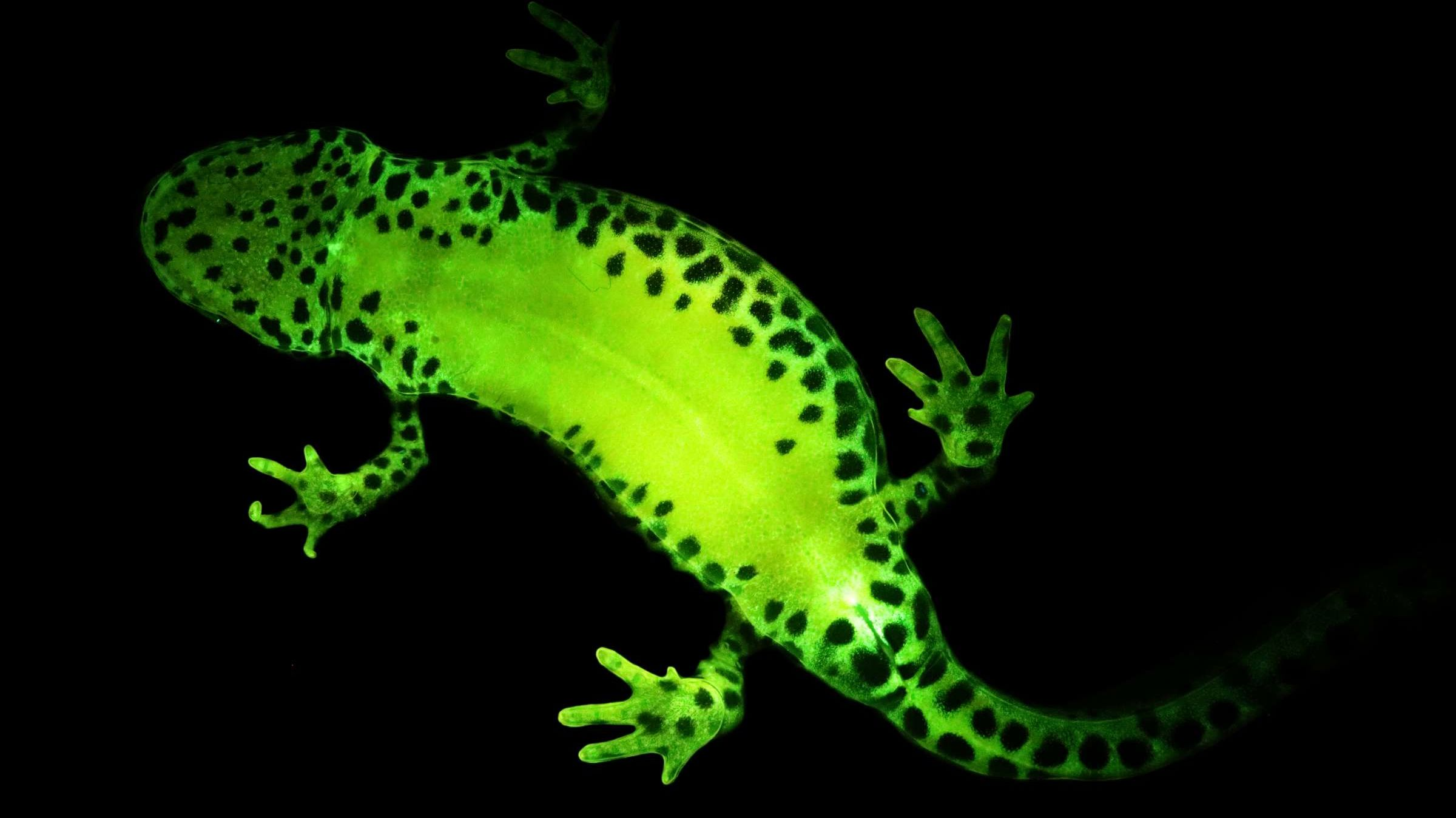 It's Easy Being Green: Most Amphibians Are Biofluorescent, Study Finds