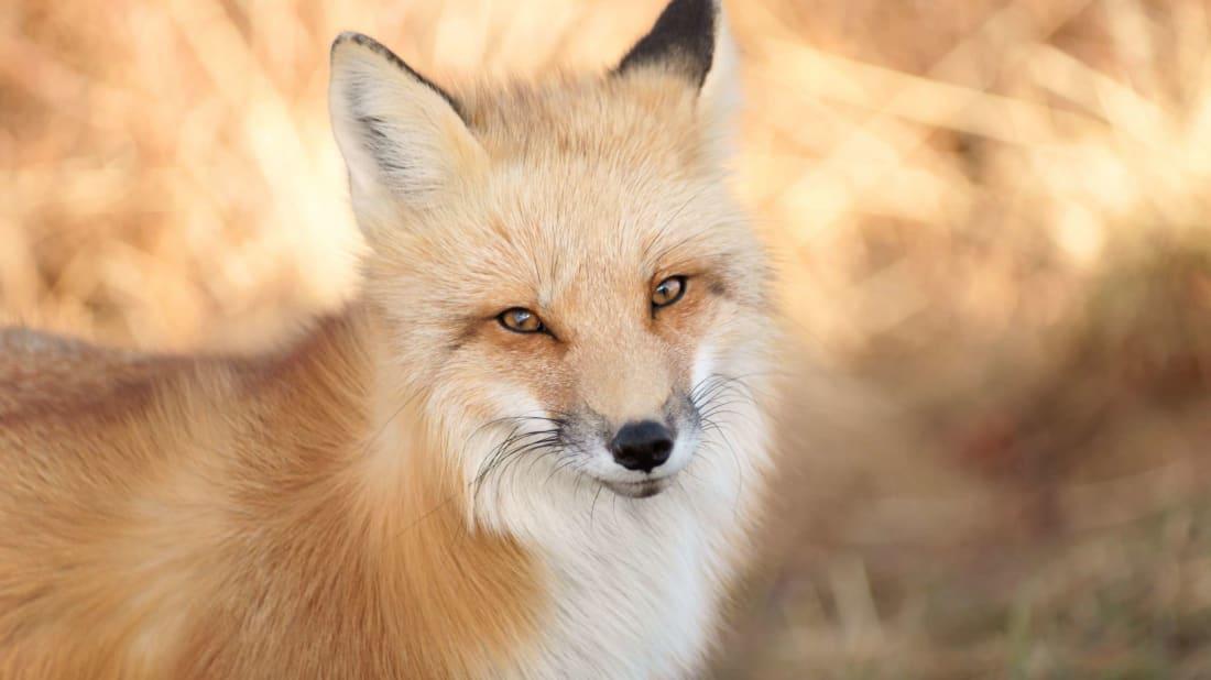 A red fox.