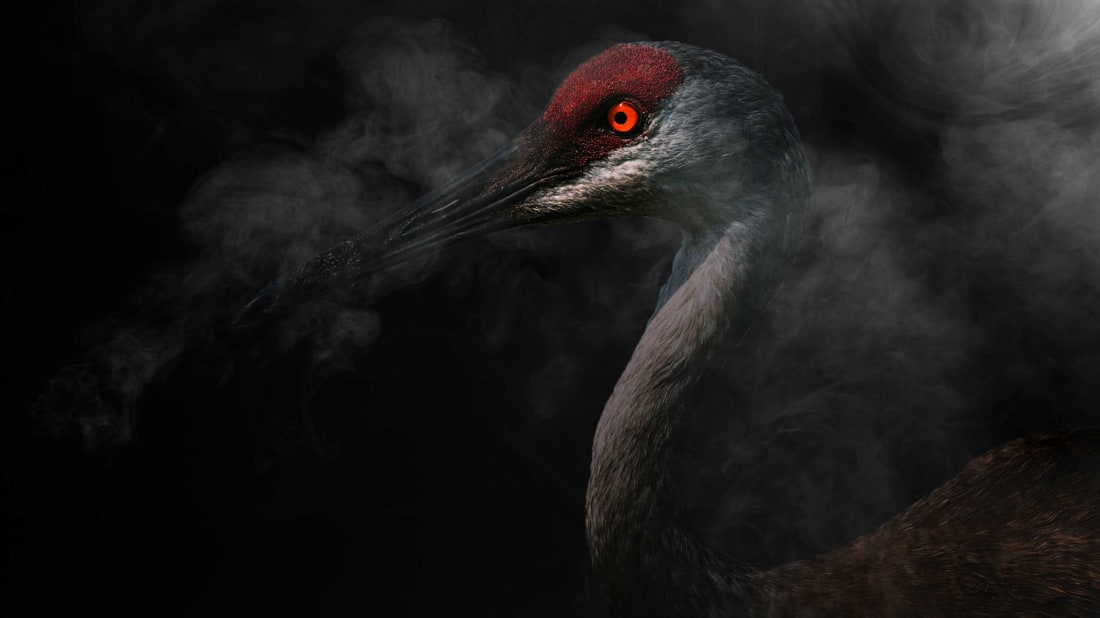 One common explanation for the Mothman? A sandhill crane.