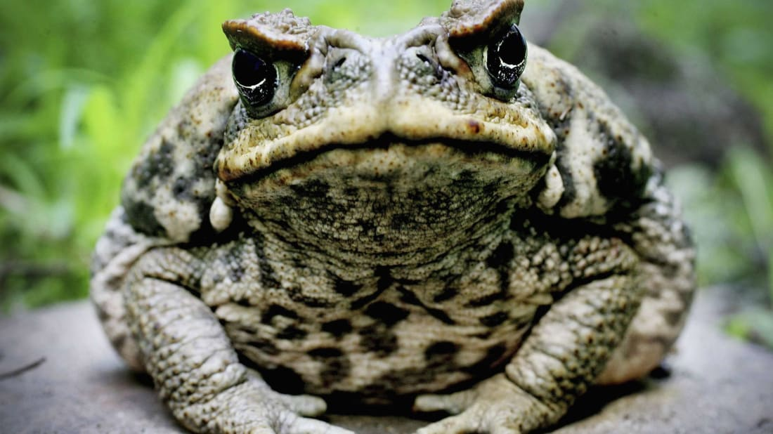 The cane toad, one of the world's invasive species.