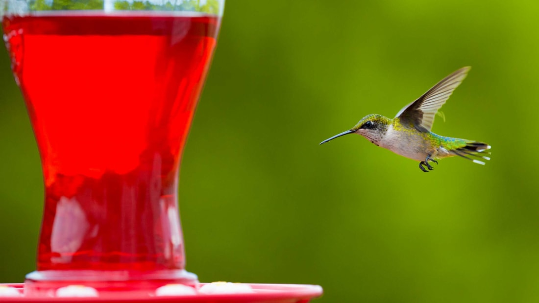 A female ruby-throated hummingbird headed for her next meal.
