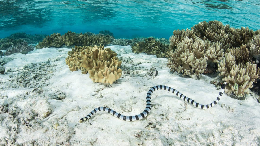 Seven Snorkeling Grandmas Discovered a Deadly Sea Snake Population