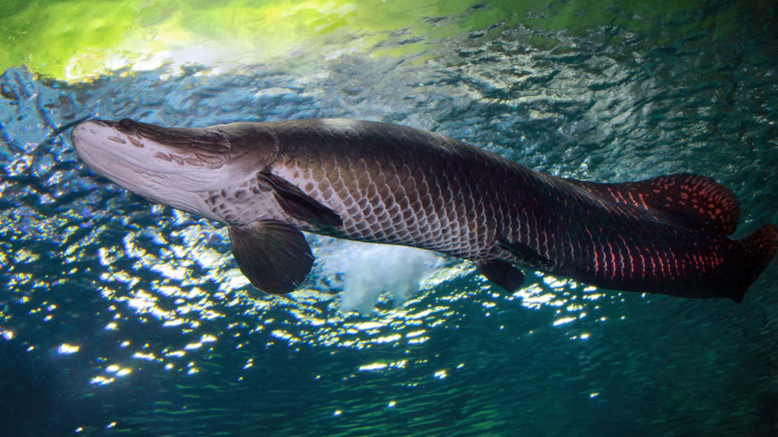 An arapaima ready to retire in Florida.
