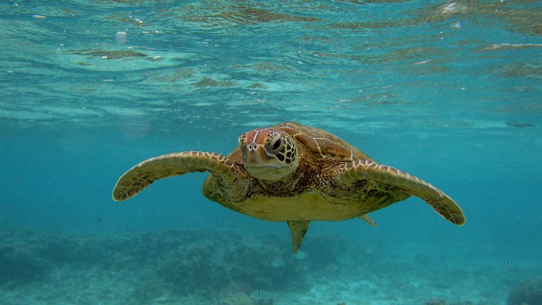 A Hawksbill sea turtle swimming in the ocean.