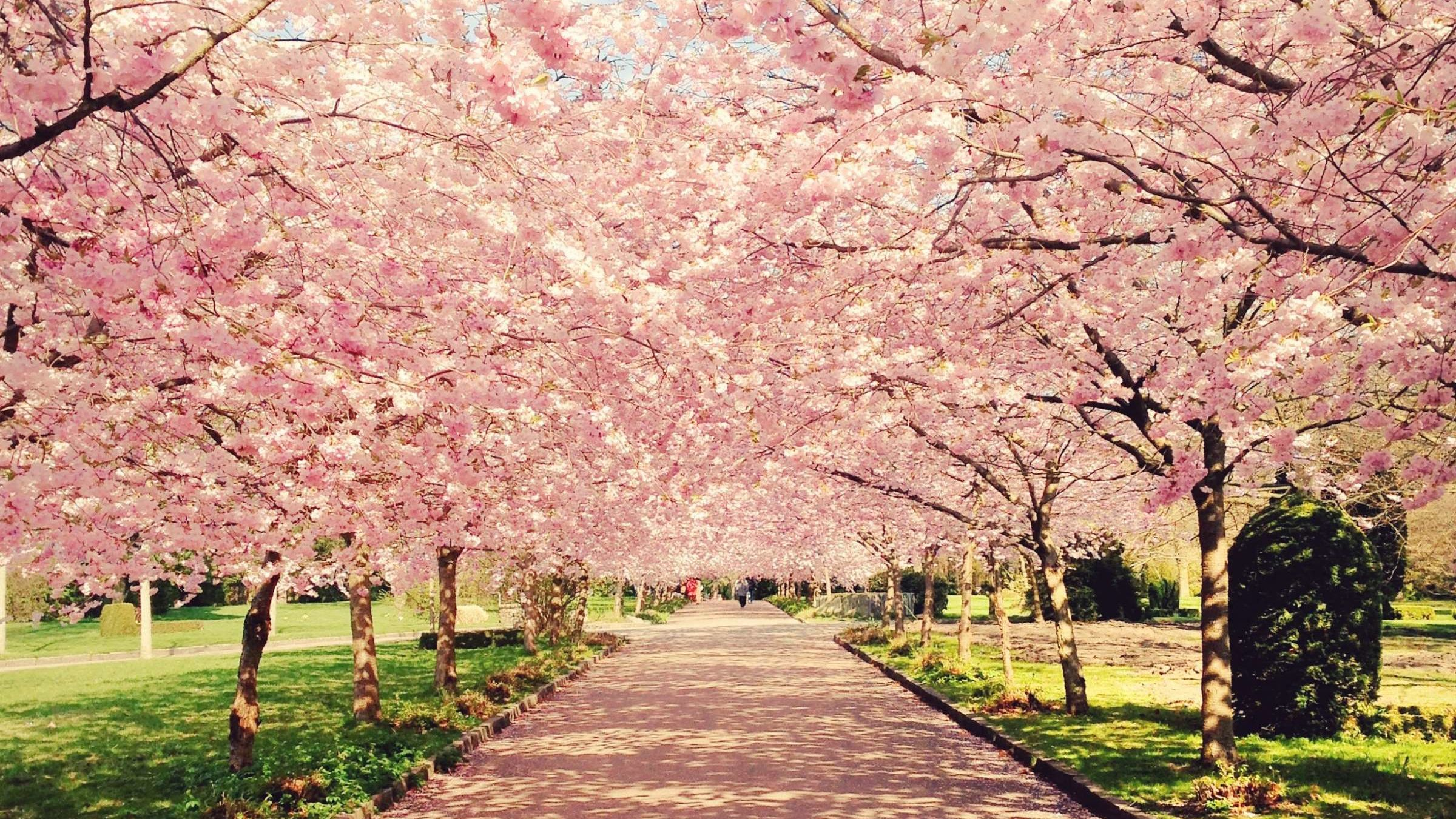 10 Amazing Facts About Cherry Blossoms Mental Floss